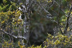 Gérygone de Nouvelle Zélande (Grey Warbler / Riroriro)