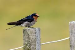 Hirondelle de Tahiti (Welcome Swallow)