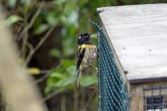 Méliphage hihi (Stitchbird / Hihi)