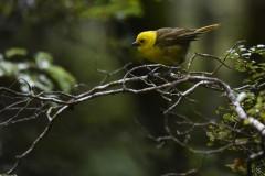Mohoua à tête jaune (Yellowhead / Mohua)