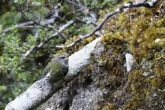 Xénique grimpeur (Rifleman / Titipounamu)