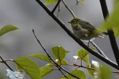 Zostérops à dos gris (Silvereye / Tauhou)